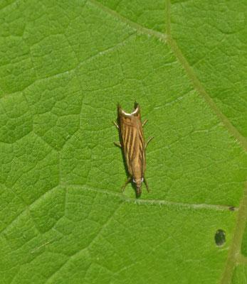 Chrysoteuchia culmella -  Gewone grasmot
