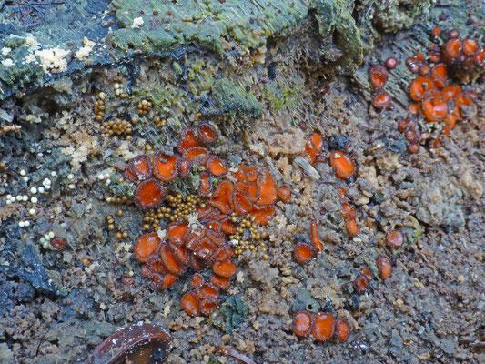 Scutellinia scutellata - Gewoon wimperzwammetje