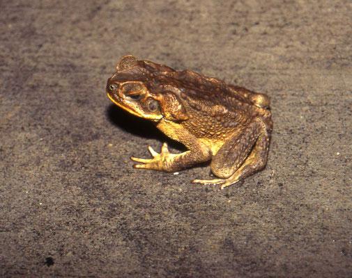 Bufo marinus - Cane Toad