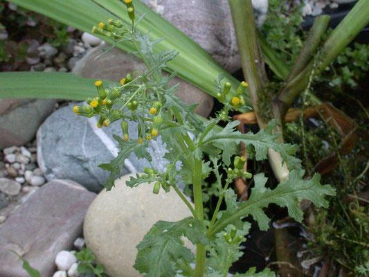Senecio vulgaris - Klein kruiskruid