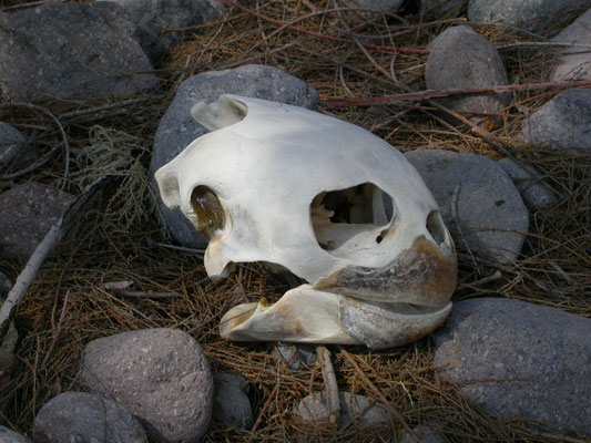 Caretta caretta - Dikkopschildpad