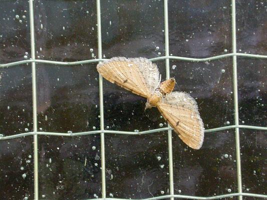 Eupithecia absinthiata - Egale dwergspanner
