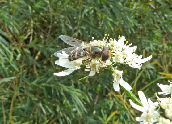 Scaeva pyrastri - Witte halvemaanzweefvlieg
