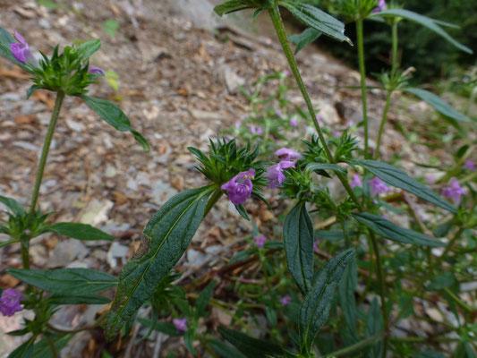 Galeopsis angustifolia - Smalle raai
