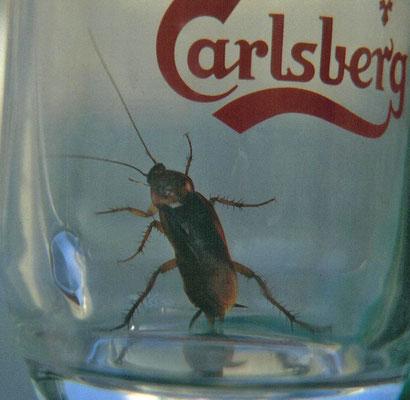 Periplaneta americana - Amerikaanse kakkerlak