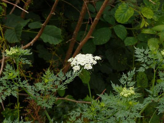 Aethusa cynapium - Hondspeterselie
