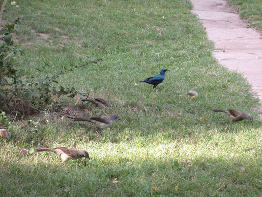 Lesser Blue-eared Glossy Starling