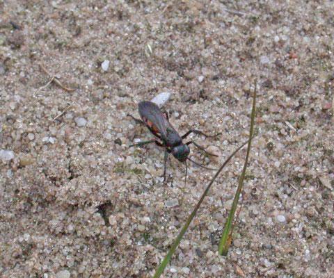Anoplius viaticus - Roodzwarte bosrtelspinnendoder
