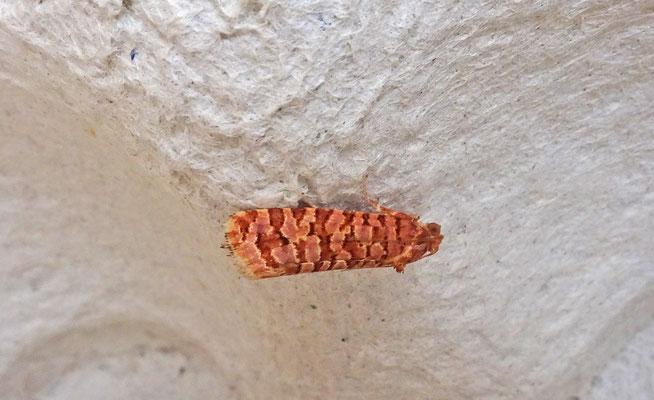 Lozotaeniodes formosana - Stipjesbladroller