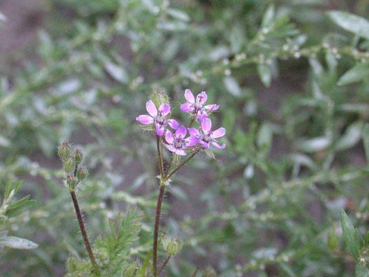 Erodium cicutarium cicutarium - Gewone reigersbek