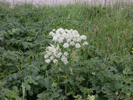 Heracleum sphondylium- Gewone berenklauw