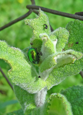 Chrysolina herbacea - Groene munthaan