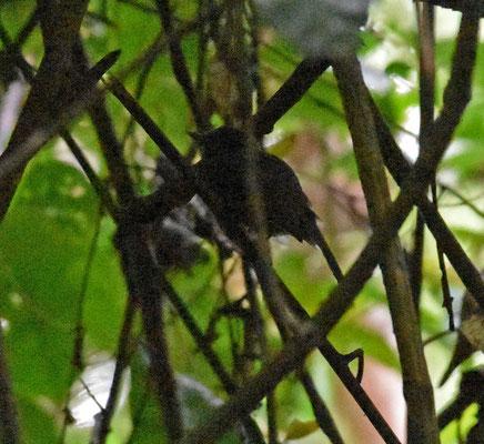 Dusky Antbird, male