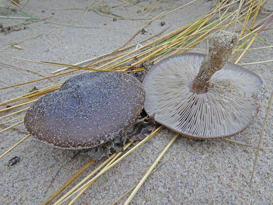 Melanoleuca cinereifolia - Duinveldridderzwam