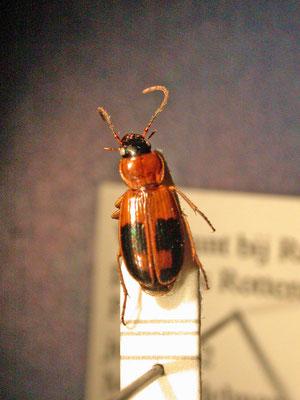 Badister lacertosus