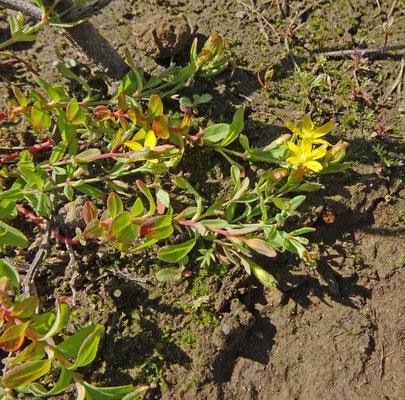Hypericum humifusum - Liggend hertshooi