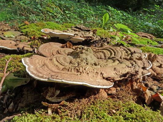 Ganoderma lipsiense - Platte tonderzwam