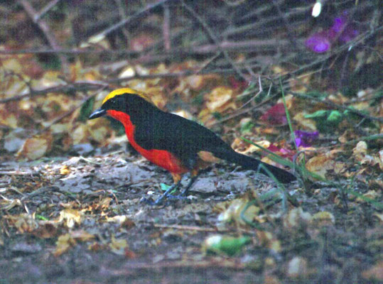 Yellow-fronted Gonolek
