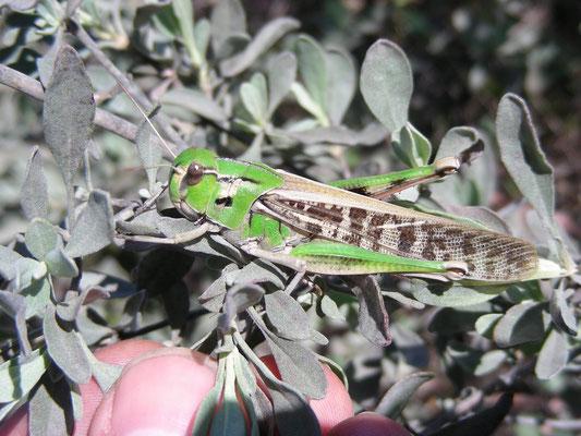 Locusta migratoria - Europese treksprinkhaan