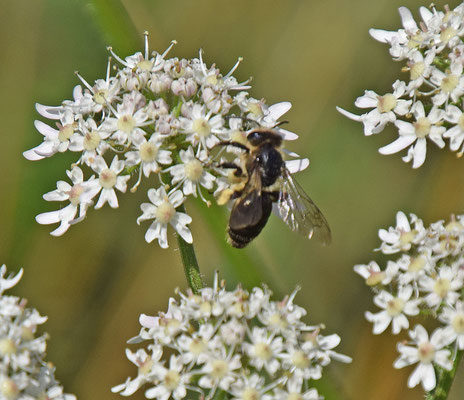 Andrena proxima - Fluitenkruidbij