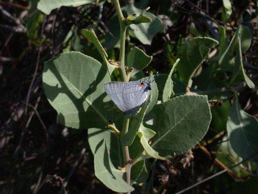 Hypolycaena philippus