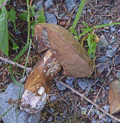 Porphyrellus porphyrosporus - Porfierboleet