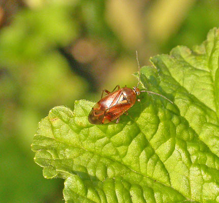 Lygus pratensis  - Weideschaduwwants