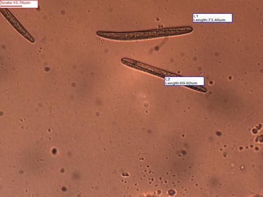 Geoglossum fallax - Fijngeschubde aardtong