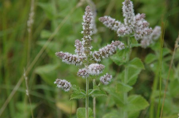 Mentha x rotundifolia - Wollige munt