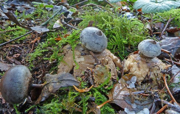 Geastrum pectinatum-Grote aardster