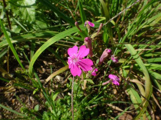 Dianthus deltoides - Steenanjer