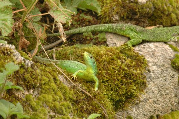 westelijke smaragdhagedis (Lacerta viridis)