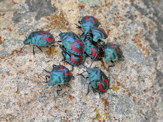 Zircrona coerulea - Blauwe schildwants