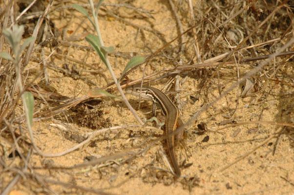 Algerijnse zandloper