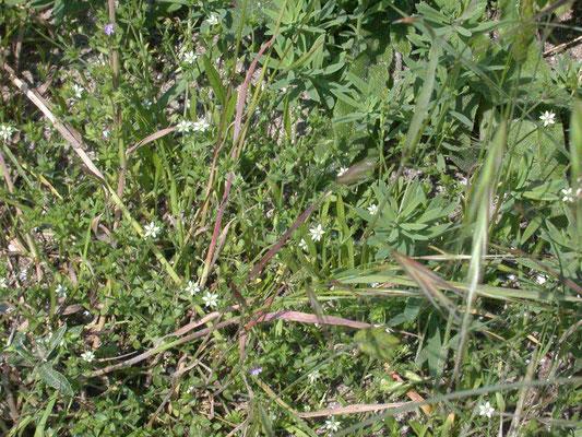 Moehringia trinervia - Drienerfmuur