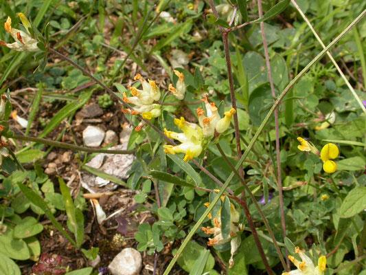 Anthyllis vulneraria - Wondklaver