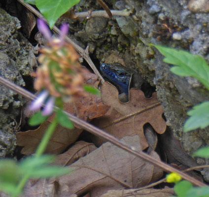 Dalmatische kielhagedis (Algyroides nigropunctatus)