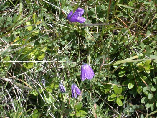 Campanula rotundifolia - Grasklokje