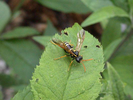 Tenthredo scrophulariae - Helmkruidbladwesp