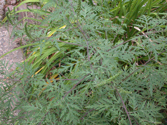 Ambrosia artemisiifolia - Alsemambrosia
