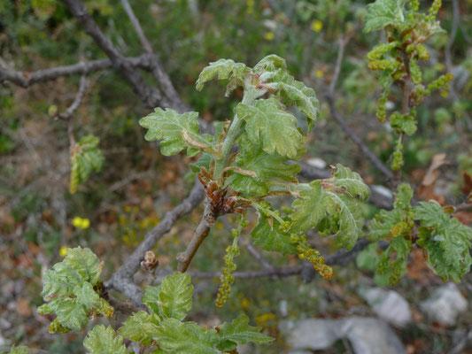 Quercus specie