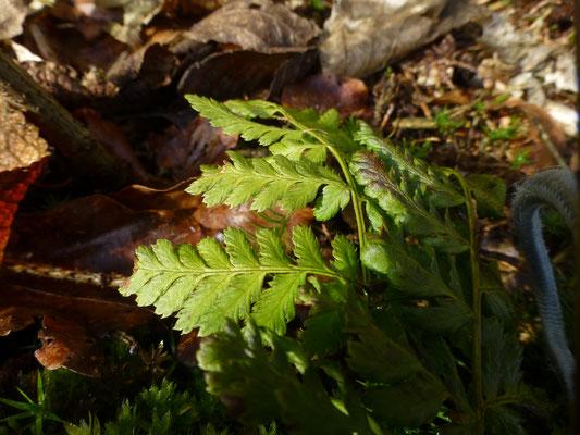Dryopteris carthusiana - Smalle stekelvaren