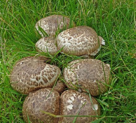 Agaricus subperonatus - Gordelchampignon
