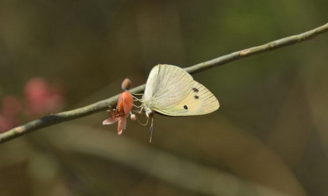 Colotis phisadia