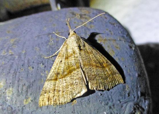 Hypena proboscidalis - Bruine snuituil