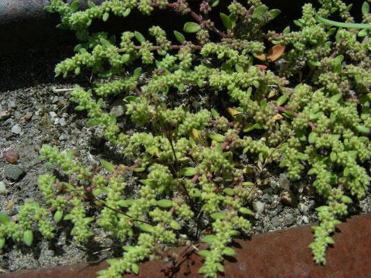 Herniaria hirsuta - Behaard breukkruid