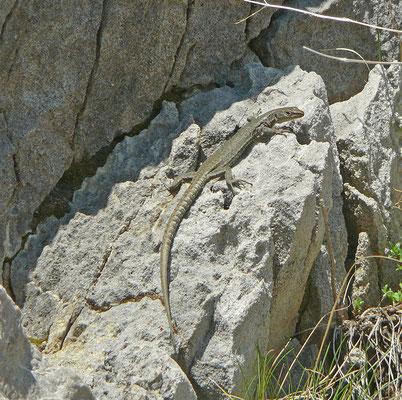 Dinarolacerta montenegrina - Prokletije berghagedis