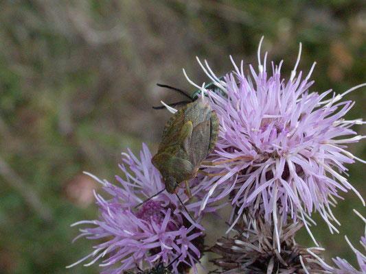 Dolycoris baccarum - Bessenschildwants