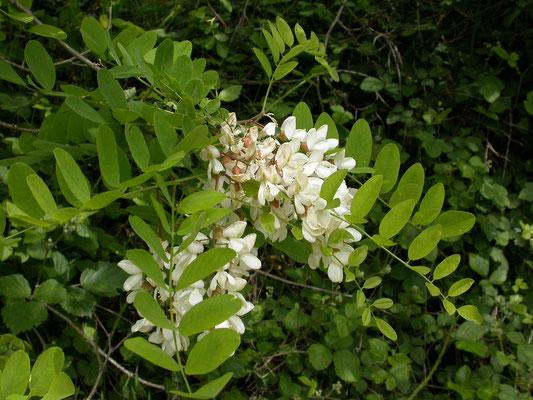 Robinia pseudo-acacia - Robinia