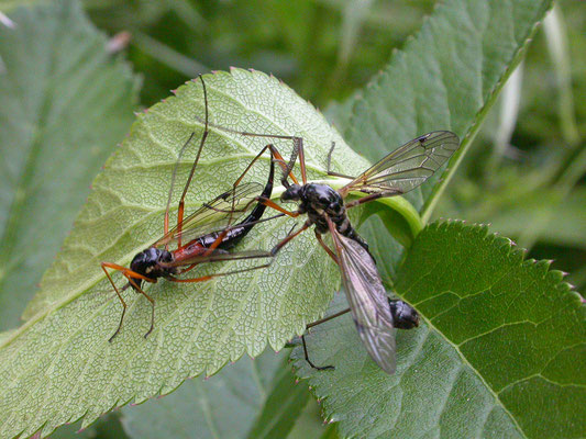 Tanyptera atrata - Houtlangpootmug